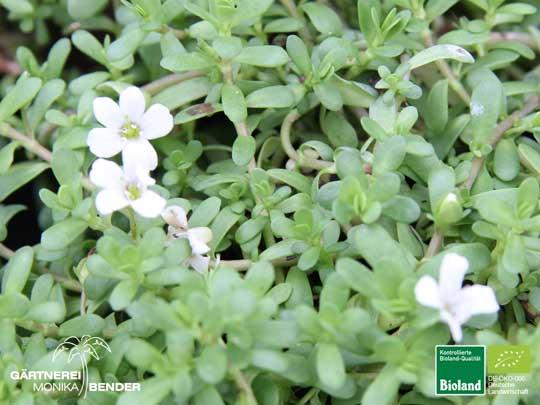 Bacopa monnieri brahmi gedächtnispflanze kleines fettblatt