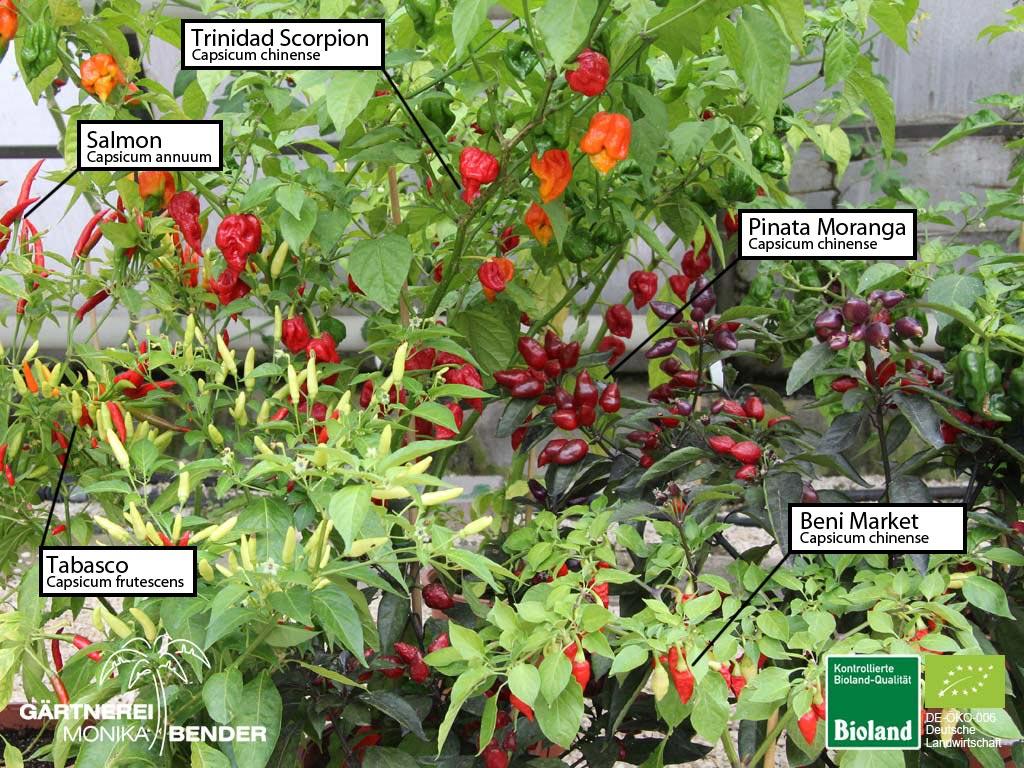 bioland chili pfefferoni und habanero pflanzen. Black Bedroom Furniture Sets. Home Design Ideas