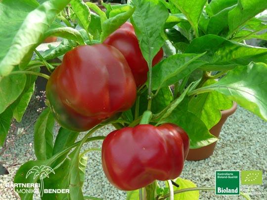 paprika pflanzen paprika soul plants pflanzen f r garten seele bioland paprika pflanzen. Black Bedroom Furniture Sets. Home Design Ideas