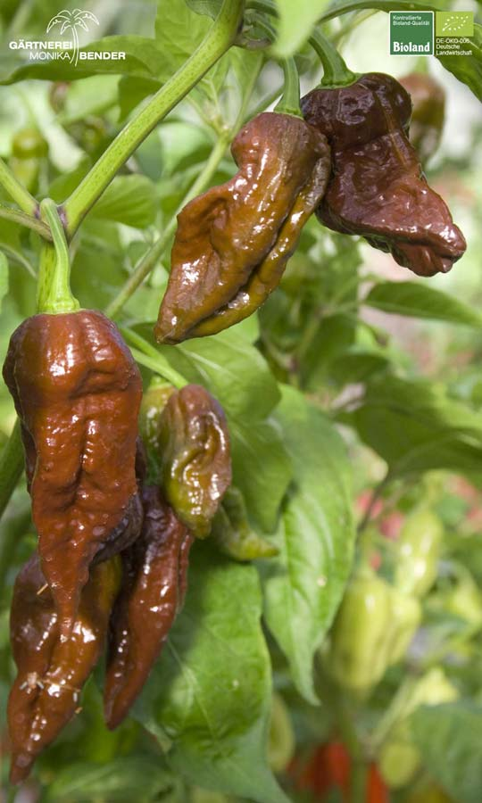 bhut jolokia 39 chocolate 39 capsicum chinense extrem scharf bioland. Black Bedroom Furniture Sets. Home Design Ideas