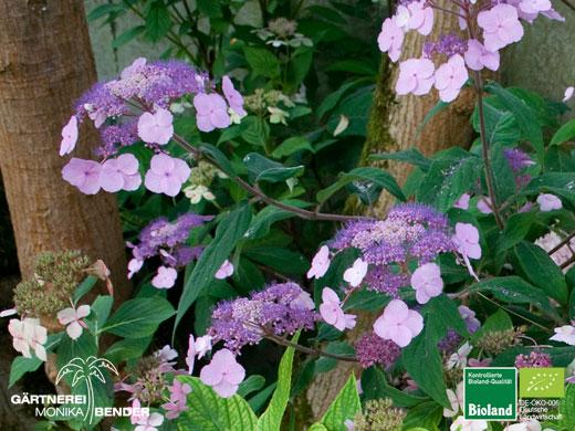 hydrangea serrata oamacha japanische tee hortensie bioland. Black Bedroom Furniture Sets. Home Design Ideas