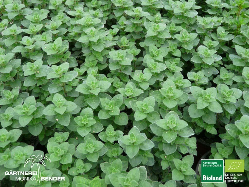 origanum oregano pflanzen in bioland qualit t. Black Bedroom Furniture Sets. Home Design Ideas