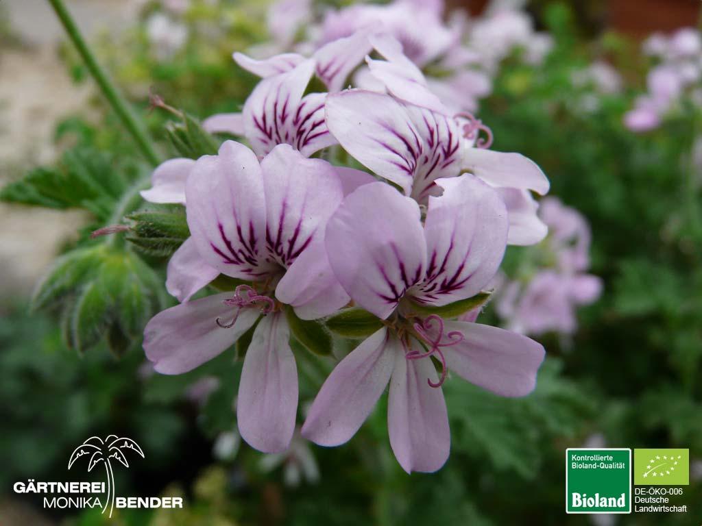 pelargonium graveolens rosen duftgeranie bioland. Black Bedroom Furniture Sets. Home Design Ideas