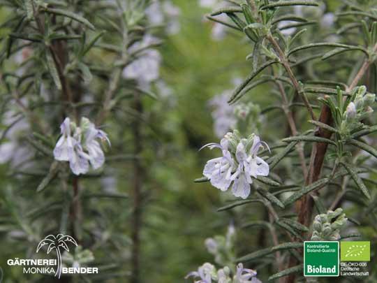 rosmarinus officinalis 39 arp 39 rosmarin winterhart bioland. Black Bedroom Furniture Sets. Home Design Ideas