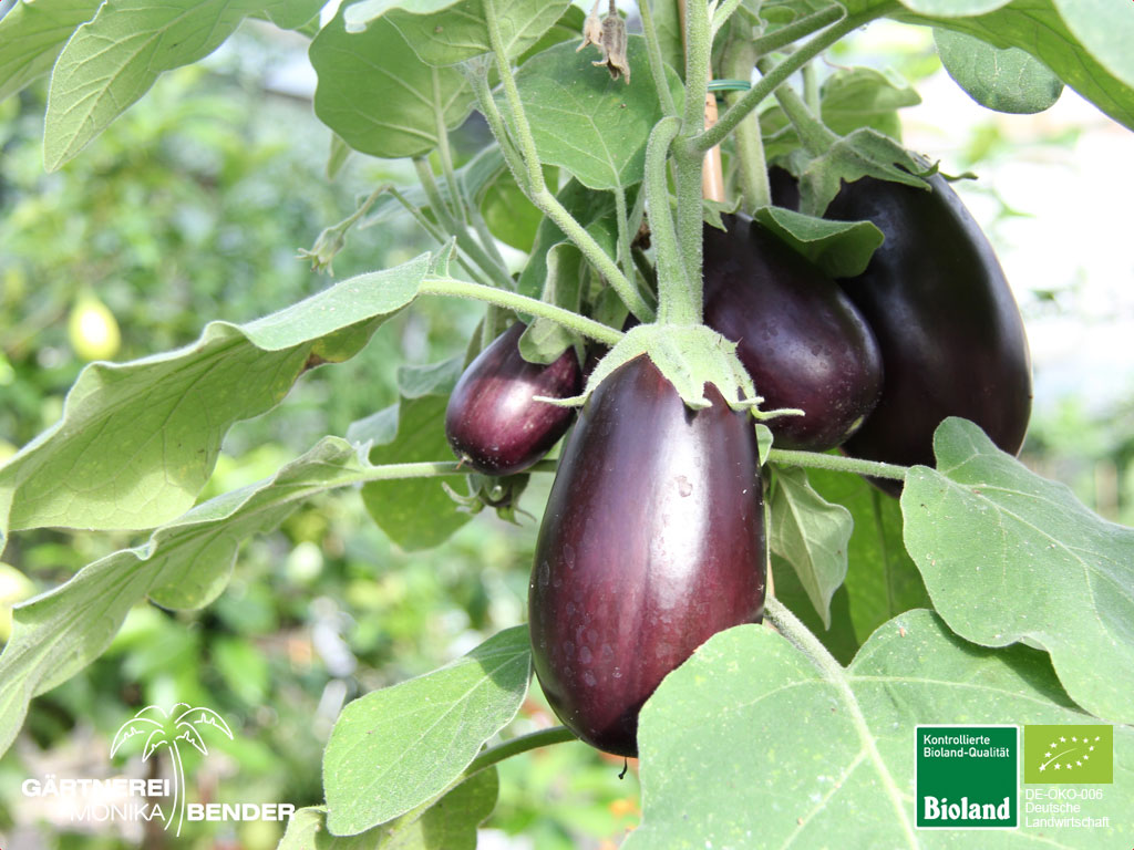 aubergine mini aubergine solanum melongena bioland. Black Bedroom Furniture Sets. Home Design Ideas