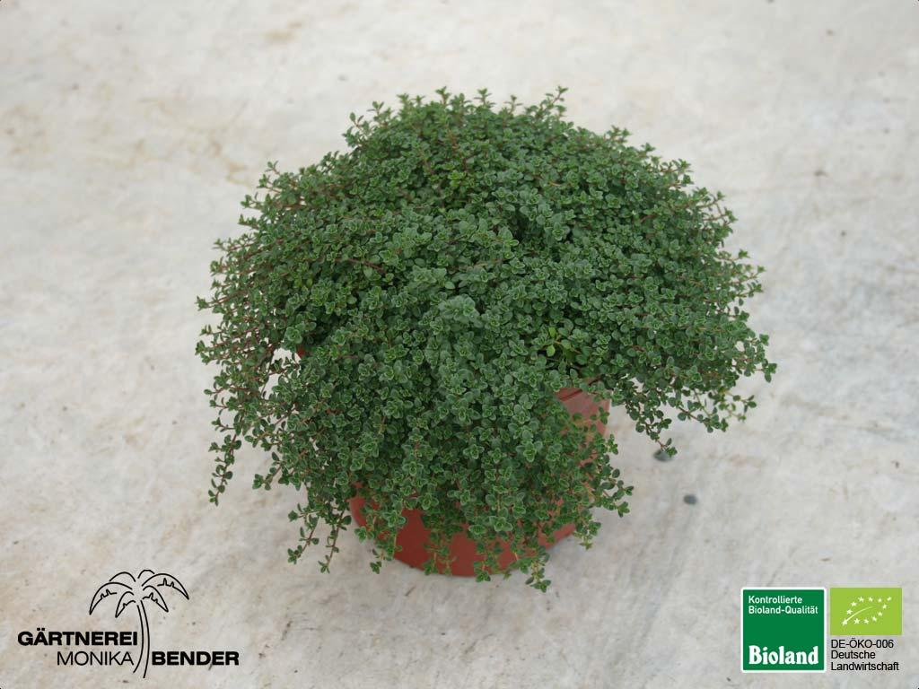 thymus serpyllum 39 coccineus 39 sand thymian bioland. Black Bedroom Furniture Sets. Home Design Ideas