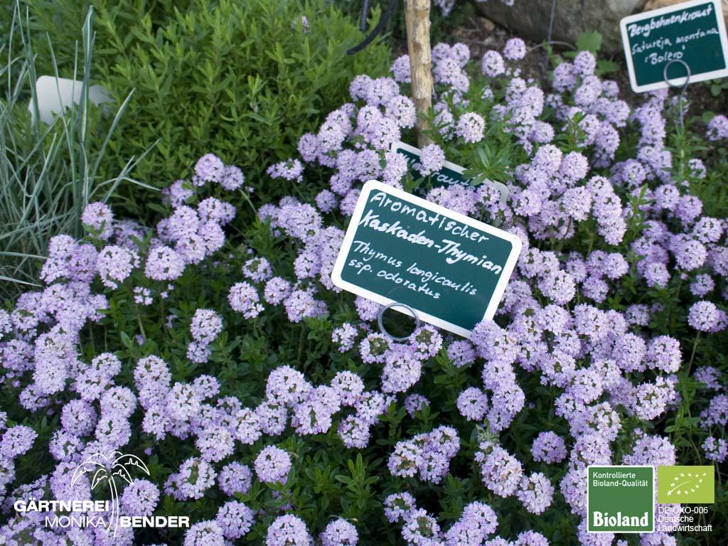 thymus thymianpflanzen in bioland qualit t. Black Bedroom Furniture Sets. Home Design Ideas
