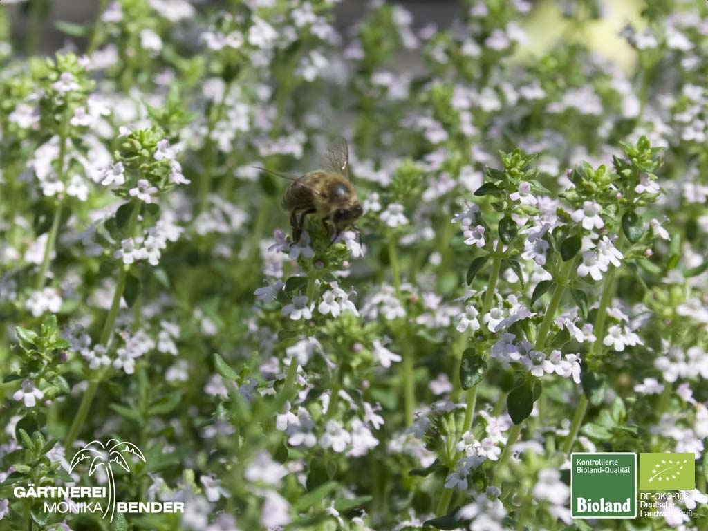 thymus vulgaris 39 compactus 39 kleiner gew rz thymian bioland. Black Bedroom Furniture Sets. Home Design Ideas
