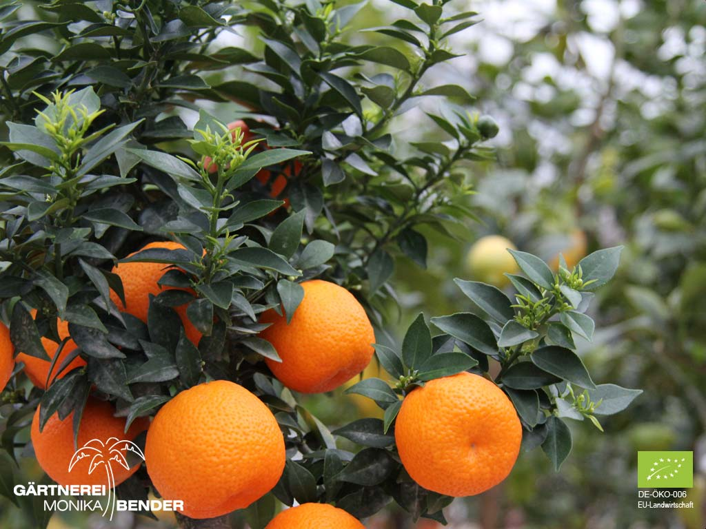 Chinotto b umchen citrus aurantium var myrtifolia bio for Citrus myrtifolia