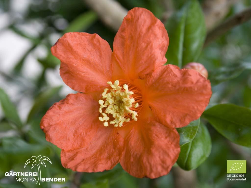 baum china große rote blüten