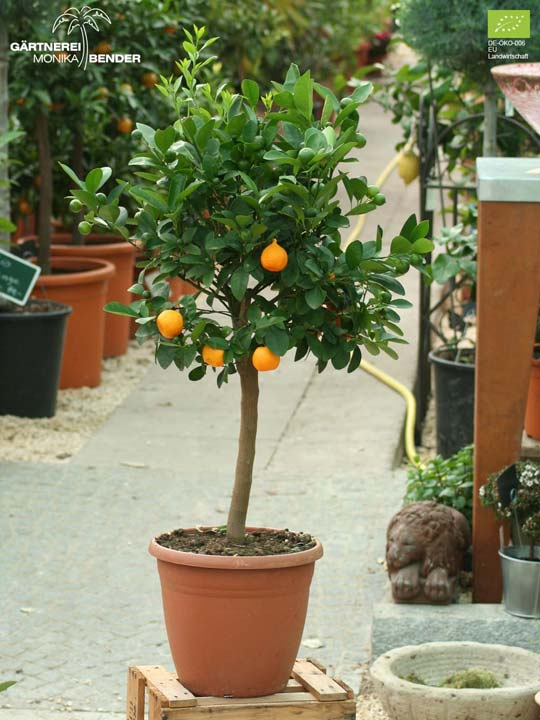 x Citrofortunella microcarpa - Calamondini | Bio