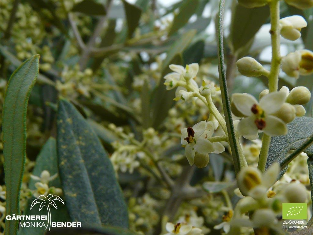 olivenbäume überwintern topf
