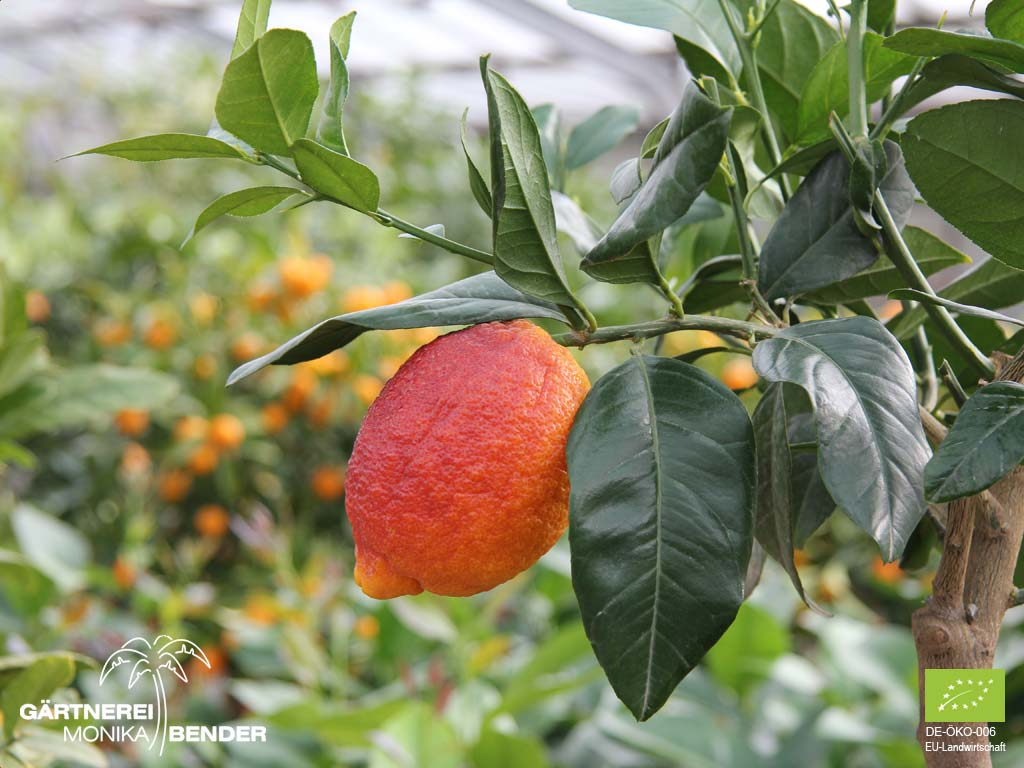Rote >> Zitronenbäumchen 'Limone Rosso' - Citrus limon 'Rosso' | BIO