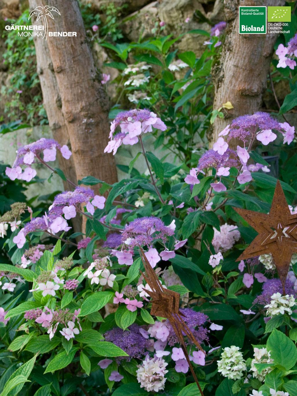 Berühmt Hydrangea serrata oamacha - Japanische Tee-Hortensie   Bioland &YR_22