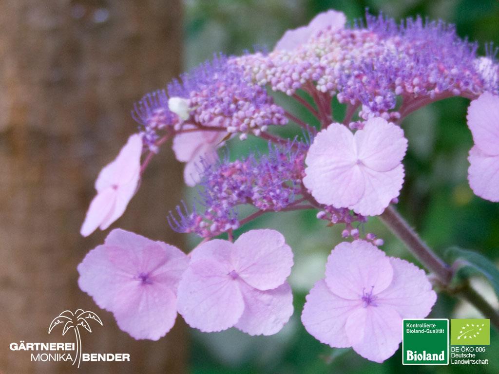 Ganz und zu Extrem Hydrangea serrata oamacha - Japanische Tee-Hortensie   Bioland &BK_18