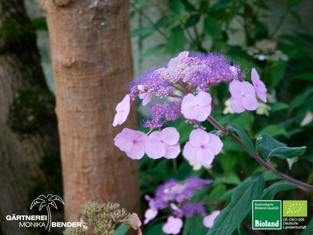 Atemberaubend Hydrangea serrata oamacha - Japanische Tee-Hortensie   Bioland #MM_43