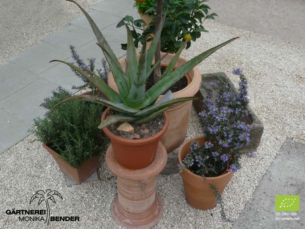 Aloe Vera Pflanzen Bioland