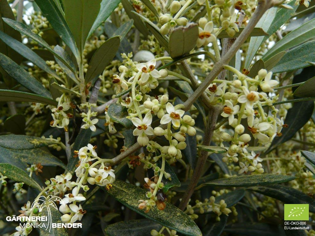 Gemeinsame Olivenbäumchen in Bio-Qualität - verschiedene Sorten - Olivenbaum @LL_68