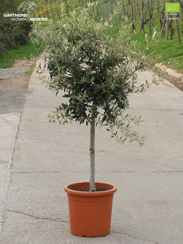 Berühmt Olivenbäumchen in Bio-Qualität - verschiedene Sorten - Olivenbaum XE35
