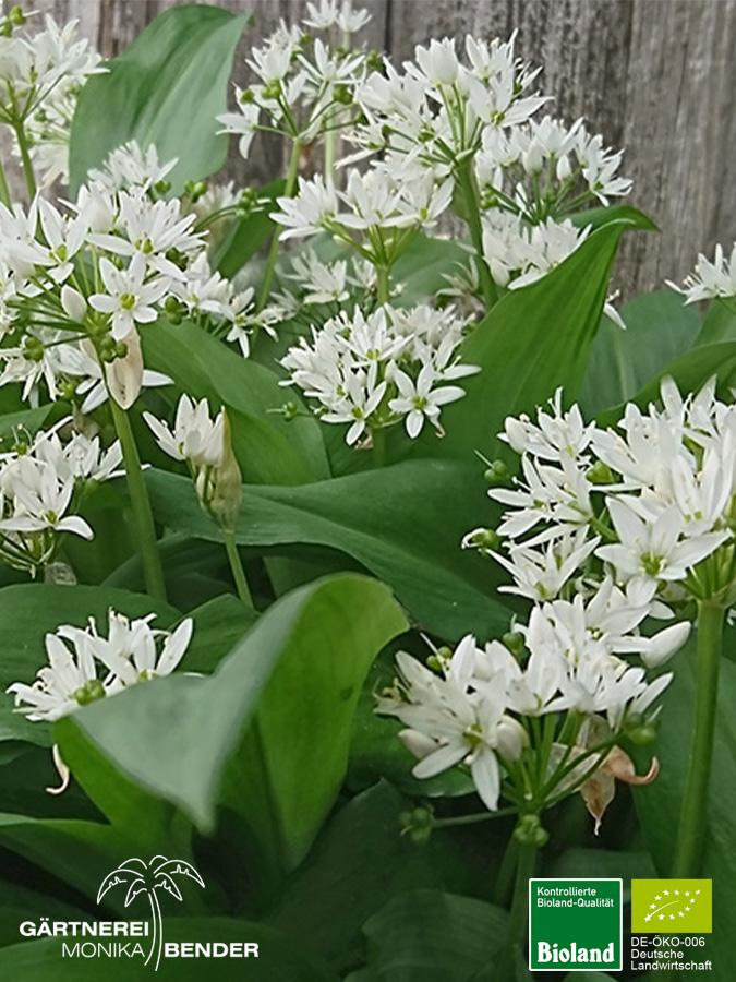 B&aurlauch - Allium ursinum Bioland Gärtnerei