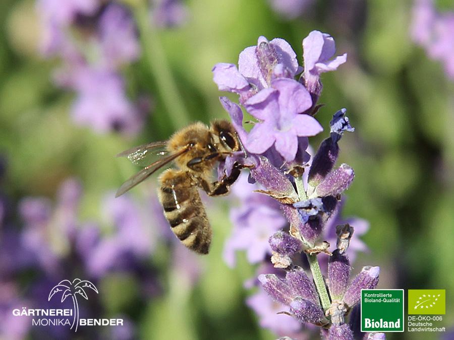 Biene Bioland Gärtnerei